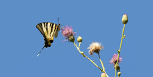 A Scarce Swallowtail Butterfly On Thistle Flower