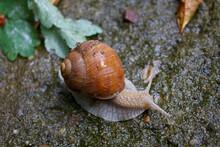 Escargot (Helix Pomatia, Weinbergschnecke)