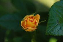 Closeup Shot Of A Yellow Rosebud