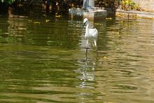 White Egret Walking In Water