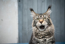 Tabby Maine Coon Cat With Long Ear Tips Making Funny Face Looking Shocked With Mouth Wide Open On Wooden Background