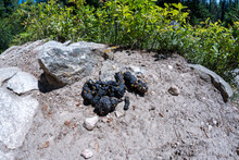 Black Bear Scat Poop With Berries, Along A Trail In Grand Teton National Park