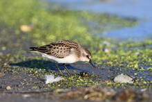 Semipalmated Sandpiper On Beach Eating Eating A Tiny Invertebrate