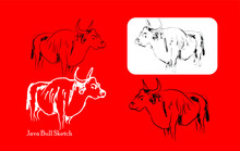 Banteng Java/bos Javanicus Is A Rare Protected Animal In Indonesia
