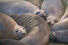 Animals, Beach, Califoenia Central Coast, Company, Elephant Seals, E-seals, Females, Huddle, Huge, Mammals, Marine, Molting, Nothern, Piedras Blancas