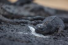 A Galapagos Marine Iguana Resting On Black Volcanic Rocks