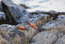 Several Sally Lightfoot Crabs Resting On Rocks By The Seashore