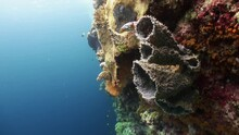 Spiny Tube Sponges On A Steep Coral Reef Wall, Blue Water, Colorful Reef