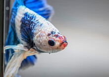 Closeup Of Betta Fish Face, Betta Mouth And Air Bubbles In The Water, Siamese Fighting Fish,Betta Splendens, Blue Betta On The Background Blur.