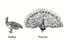 Peacock With Open Tail Standing  Front View And Peahen Side View. Ink Black And White Doodle Drawing In Woodcut Style Illustration