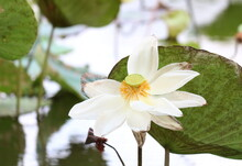 The White Lotus Flower That Is Fading