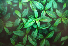 The Backdrop Is Of Beautiful Green Young Basil Leaves Growing In Summer And Illuminated By Pleasant Daylight. Ecology.