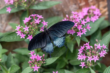 Papilio Memnon Or The Great Mormon Black Butterfly Sitting On A Flower, Top View