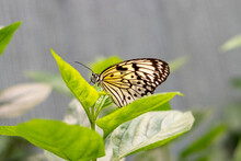 Idea Leuconoe, Tree Nymph Or Rice Paper Butterfly Sitting On Green Leaves Oudoors