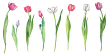 Set Of Spring Lovely Flowers, Pink And Purple Tulips With Green Leaves Isolated On White Background. Botanical Watercolor Flower Illustration. Collection Of Blooming Flowers.