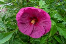 Pink Hibiscus Grandiflorus (marsh Mallow, Pink Marsh Hibiscus, Large-flowered Hibiscus). Beautiful Swamp Flower With Pink Petals In The Garden