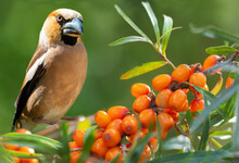 Songbird Sitting On A Branch Of Sea Buckthorn With Ripe Berries. Hawfinch ( Coccothraustes Coccothraustes )