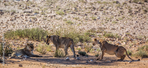 Three African lioness resting in shadow in Kgalagadi transfrontier park, South Africa; Specie panthera leo family of felidae