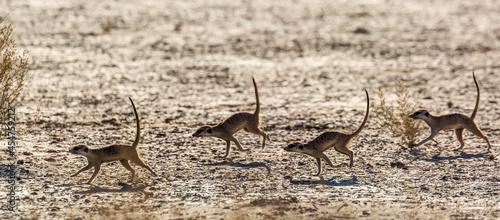 Four Meerkats running in dryland in Kgalagadi transfrontier park, South Africa; specie Suricata suricatta family of Herpestidae