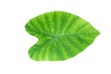 Caladium Bicolor Is A Beautiful Plant That Is Growing In Popularity.