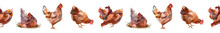 Beautiful Multi Colored Hen Illustration ,The Four Chickens In One Strip. Samless Pattern