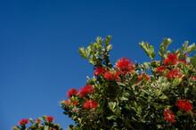 Blooming Red Melaleuca On Santorini. Paperbarks, Honey-myrtles Or Tea-trees. Blue Sky On Background.