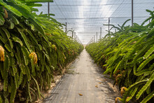 Natural View Of Dragon Fruit Stems Inside A Greenhouse