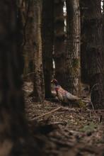 Graceful Pheasant Walking Through Woodland