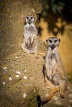 Meerkat Gang In Zoo Park