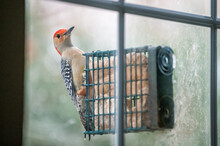 Northern Virginia Area With Closeup Of Red-bellied Woodpecker Perched On Window Suet Bird Feeder With Vibrant Red Color Looking At Camera