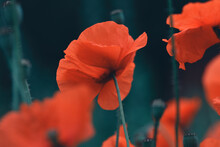 Selective Focus Shot Of Red Blossomed Poppies On A Dark Background
