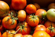 Tomatoes Of Different Ripeness In A Box On A Sunny Summer Day. Harvesting Season. Healthy Foods From Nature.