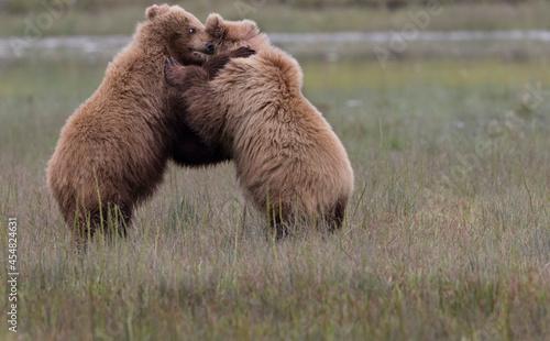 Fotografie, Obraz Coastal Brown Bears  digging for clams and grazing on sedge grass Lake Clark, Al