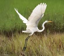 Great White Egret Heron In Flight Wings Spread Soaring
