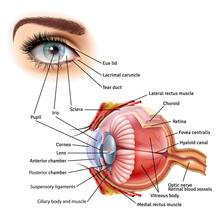 Human Eye Anatomy Infographic With Outside View And Organ Inside Structure On White Background Realistic Vector Illustration