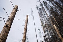 Broken Trunks Of Pine Trees Against Sky. Burnt Pine Forest In The Background. Pine Forest After Bushfire. Charred Trees With Broken Trunks In Pine Forest On Hillside Of Carpathians Mountains