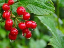 Die Früchte Des Gemeinen Schneeballs Nach Einer Regendusche