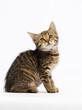 Leinwandbild Motiv tabby kitten listens with ear on a white background