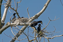 Cormorant Family And Nests In The Bare Branches Of A Dead Tree On A Clear Blue Sky - Phalacrocoracidae