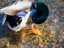 Closeup Of A Beautiful Colorful Mallard Duck Cleaning Itself In The Water