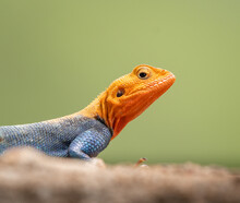 Closeup View Of A Lizard With An Orange Head On A Blurry Background