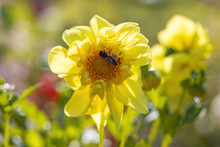 A Bee Sitting On A Delicate Yellow Flower In The Garden In The Early Morning