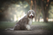 A Funny Bearded Collie With An Open Mouth Sitting On A Sandy Path And Looking Directly At The Camera Against The Backdrop Of A Bright Summer Landscape