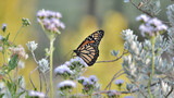 Bitterly, monarch butterfly.