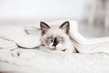 Cute Cat Peeking Out From Under A White Blanket