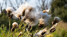 The Thistle (Cárduus) Is Ripe And The Seeds Are Flying. Thistle Is Able To Magically Influence Evil Spirits. A Prickly Herbaceous Plant Is A Good Honey Plant.