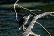 The Black-crowned Night Heron On The Marsh