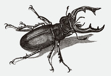 Male European Stag Beetle Lucanus Cervus In Top View. Illustration After Antique Engraving From The Early 19th Century