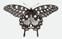 Madagascar Giant Swallowtail, Pharmacophagus Antenor In Top View. Illustration After Antique Engraving From The Early 19th Century