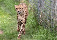 A Cheetah Prowling In Captivity